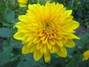 Helianthus x multiflorus 'Flore Pleno' dahlia-flowered perennial sunflower closeup
