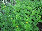 Heliopsis helianthoides 'Summer Sun' in bud