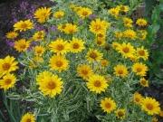 variegated Helopsis 'Loraine Sunshine'
