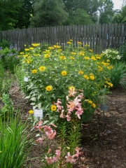 lilies & Heliopsis