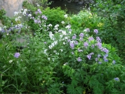 Hesperis grouping