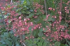 Heuchera coralbells