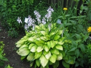 Hosta and Heliopsis