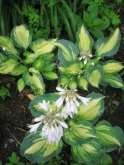 Hosta sieboldii Great Expectations