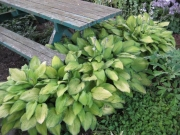 Hosta picnic table