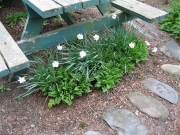 Narcissus Hosta picnic table