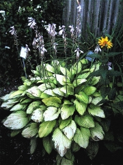 un-named hosta in bloom