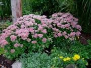 Hylotelephium spectabile 'Autumn Joy'