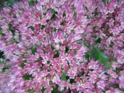 Hylotelephium spectabile 'Autumn Joy', closeup
