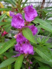 Impatiens balsamena lavender/purple closeup