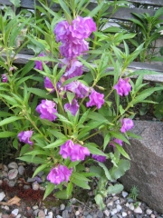 Impatiens balsamena lavender/purple
