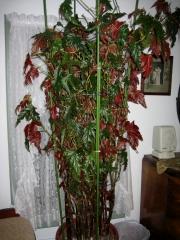 Begonia coccinea, cane begonia