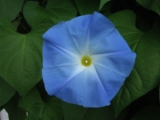 Ipomoea morning glory'Heavenly Blue'