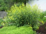 Isatis tinctoria a mustard relative