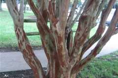 Lagerstroemia spectacular exfoliating bark, not hardy in Zone 3