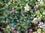 Lamium maculatum pink, closeup