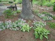 Lamium maculatum tree underplanting in Cabot, 1st year