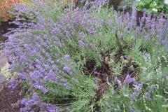 Lavandula augustifolia lavender, 'Munstead'