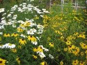 garden vignette, daisies of all sorts