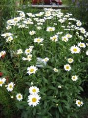 Leucanthemum maximum 'Antwerp Star' in full bloom