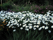 Leucanthemum maximum 'Becky' in full bloom, another angle
