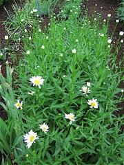 Leucanthemum maximum 'Antwerp Star' beginning to bloom