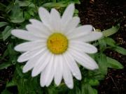 Leucanthemum maximum Shasta daisy closeup