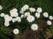 Leucanthemum maximum 'Aglaia' double Shasta daisy