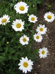 Leucanthemum maximum 'Becky'