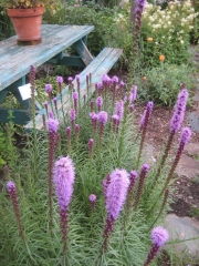 Liatris spicata, purple/pink late July