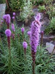 Liatris spicata, purple/pink early August