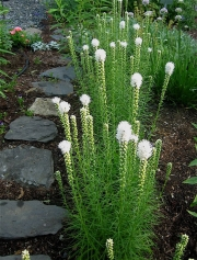 Liatris, white late July