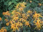 Ligularia dentata 'Desdemona' in full bloom