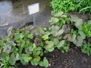 Ligularia dentata 'Desdemona' mid May
