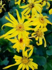 """Ligularia dentata """"Desdemona' closeup"""