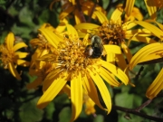 Ligularia dentata 'Desdemona' being pollinated