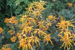 Ligularia dentata 'Desdemona' in full bloom