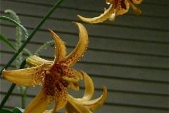 Lilium canadensis