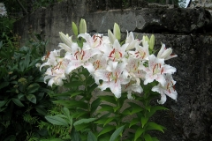 client, Glover, Lilium white with pale pink center