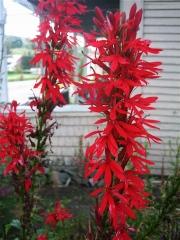 red lobelia