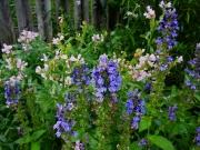 Lobelia siphilitica & Physostegia virginiana greater blue lobelia & obedient plant