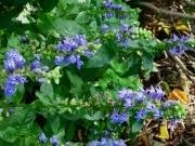 Lobelia siphilitica greater blue lobelia