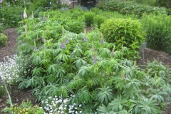 lupines in bud