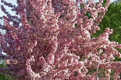 Malus, flowering crabapple in full bloom