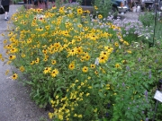 native black-eyed Susans