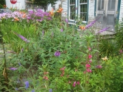 phlox (far back), buddleia (intermediate back), Impatien balsamena (foreground), Veronica (in corner)