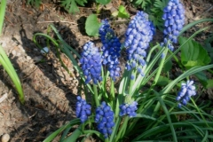 Muscari armeniacum grape hyacinth