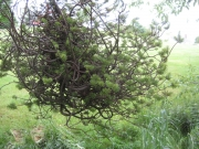 witches broom on spruce branch
