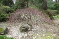 Acer palmatum, Japanese maple