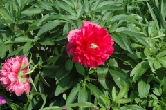 peony, early red